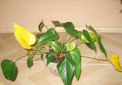 Антуріум: жовтіють листя