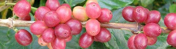 Як посадити і виростити вдома кавове дерево