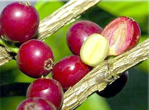 плоди кави на дереві