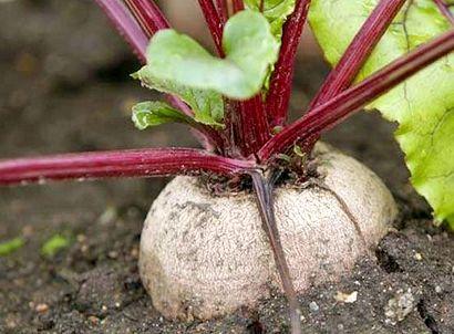Як правильно вирощувати буряк?