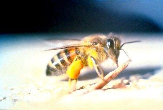 Тайські бджоли люблять харчуватися людськими сльозами
