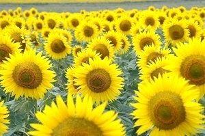 Як виростити соняшник?