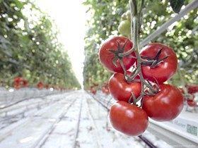 Коли дозрівають помідори в теплиці