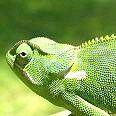 Чому хамелеон змінює колір?