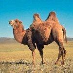 Чому верблюда називають кораблем пустелі?