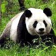 Чому вимирають панди?