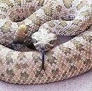 Чому змія називається гримучої?