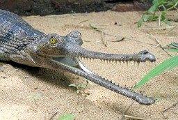 Чим відрізняється крокодил від алігатора?