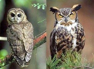 Чим сова відрізняється від пугача?