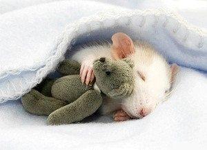 До чого сняться пацюки?