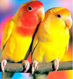 Як навчити папугу говорити (розмовляти)?
