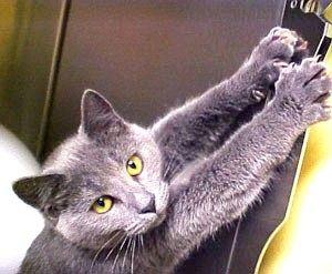 Як привчити кішку дерти шпалери?