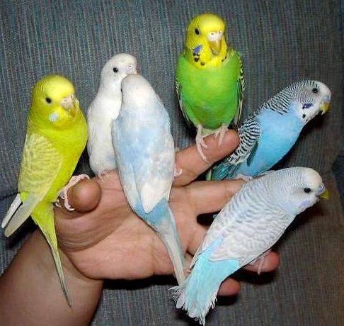 Як зробити папугу ручним і навчити його різним трюкам?
