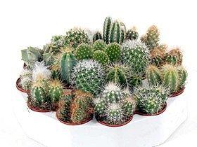 Опис кактуса