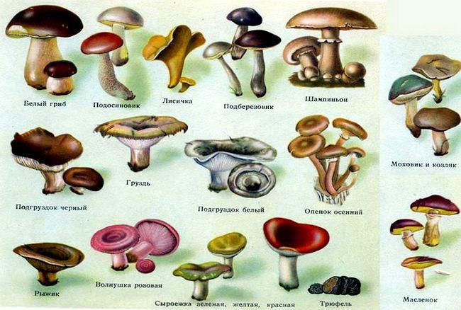 Їстівні гриби - види їстівних грибів