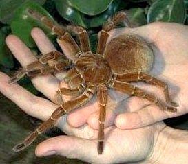 До чого сняться павуки?