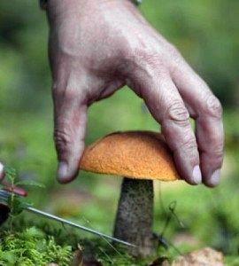 Як правильно збирати гриби