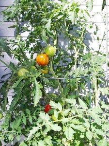 Як виростити хороший урожай помідорів