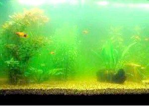 Муть в акваріумі з рибками: що робити?
