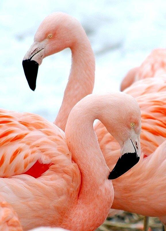 Чому фламінго рожевий?