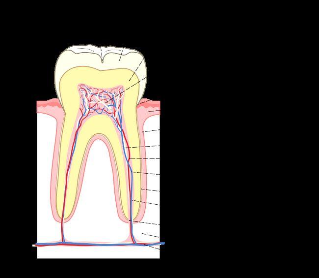 Будова зуба людини (фото і відео)