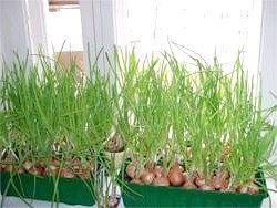 Вітаміни круглий рік - вирощування на підвіконні зелені і овочів