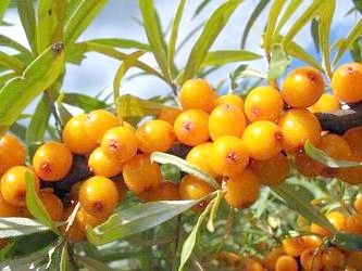 плоди обліпихи